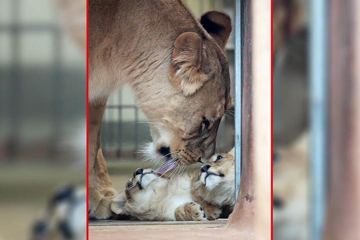 Löwenmama Bastet behütet ihre beiden Löwenkinder im Thüringer Zoopark.