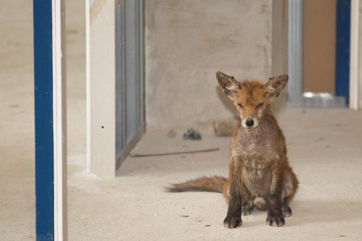 Die ersten Bewohner im Landratsamt waren Füchse, die allerdings die Kabel anknabberten.