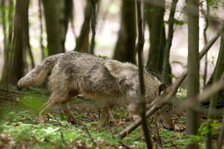 Die Mutter der Hybriden lebt in der Nähe des Truppenübungsplatz in Ohrdruf.