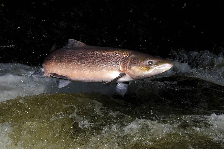 Der Lachs erholt sich: Auch in diesem Herbst kehrten die ersten Lachse in ihre Laichgewässer zurück.
