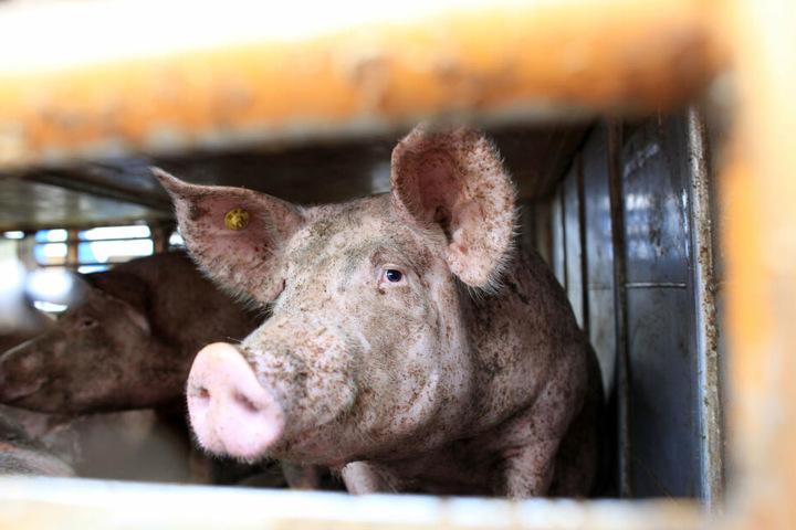 Der Mann war mit einem Anhänger voller Schweine unterwegs, einen Führerschein hatte er aber nicht. (Symbolbild)