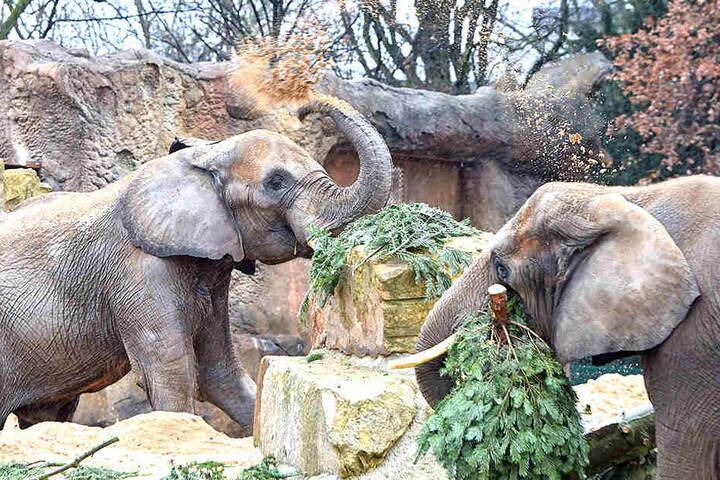 Für die Elefanten im Zoo eine leckere Abwechslung.