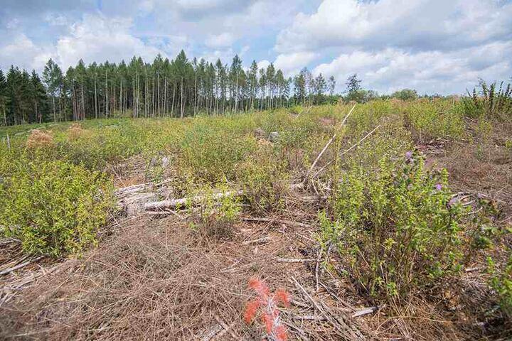 Hier bei Oberrothenbach stand im vorigen Jahr noch ein erhabener Wald. Der Besitzer musste die Fläche roden lassen.