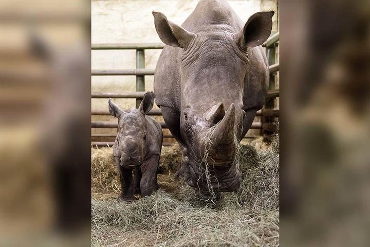 Noch hat das Nashorn-Baby kein großes Horn wie seine Mama Kianga.