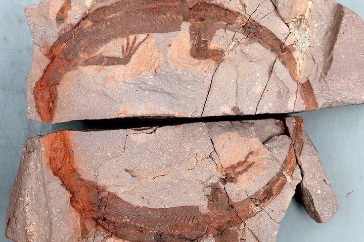 """Saurier """"Helge"""" wurde im Juni 2011 gefunden. Auf dem filigranen Abdruck ist  sogar die schuppige Haut erkennbar."""