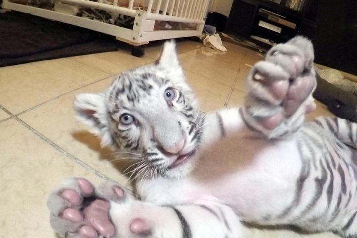 Aus den süßen Tigerbabys sind mittlerweile nicht mehr ganz so kleine Raubkatzen geworden.