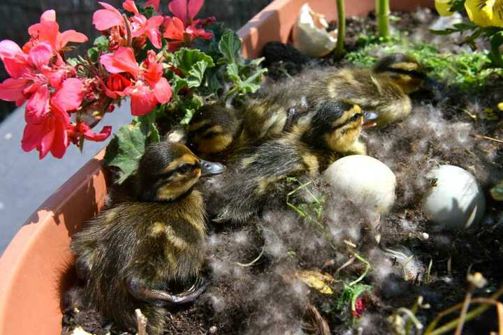 Schon vier Küken schlüpften aus den Eiern der Entenmama. Ein weiteres kämpfte noch gegen die Schalen.