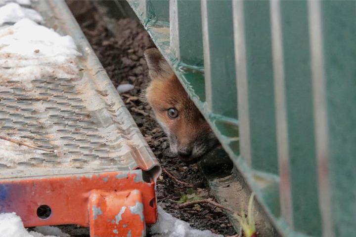 Unter einem Container war das Versteck der kleinen Füchse.