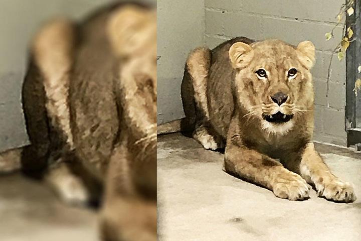 Der Löwe liegt auf der Lauer und erwartet seine Gefährtin.