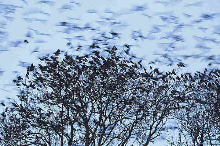 Das Naturspektakel gibt's nur im Winter, wenn Krähen aus dem Nordosten in Dresden  überwintern.
