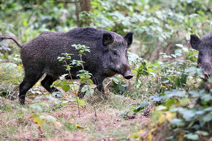 Mit Hilfe der Drohnen kann sogar Jagd auf Wildschweine gemacht werden.