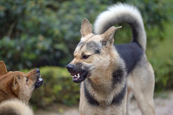 Straßenhunde sind in Indien teilweise sehr aggressiv (Symbolbild).