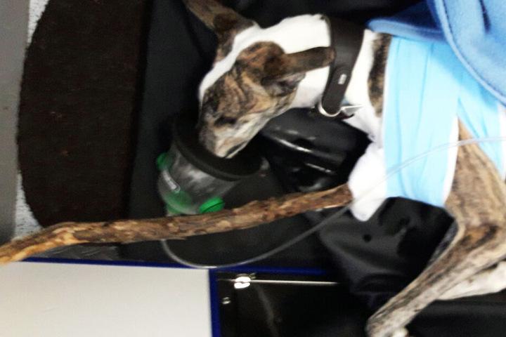 Hund Felix hatte sich beim Spielen im Pasinger Stadtpark in München äußerst schwer verletzt.