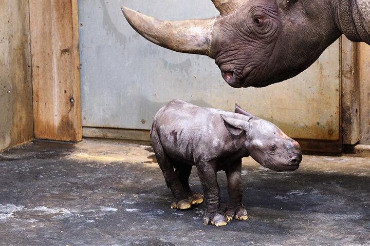 Mutter und Jungtier befinden sich derzeit in der Mutterstube im rückwärtigen Bereich der Kiwara-Kopje.