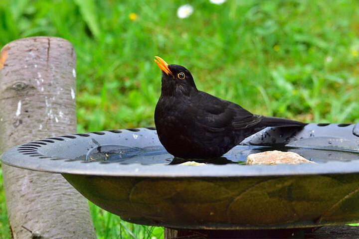 So kann man den Vögeln in der Nachbarschaft helfen: eine Tränke zum Trinken oder gar zum Baden hinstellen. Hier freut sich eine Amsel über das Wasser.