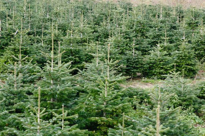 Diebe klauen 80 Weihnachtsbäume in Raststatt. (Symbolbild)