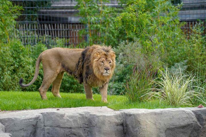 Das Männchen der Asiatischen Löwen im Kölner Zoo.