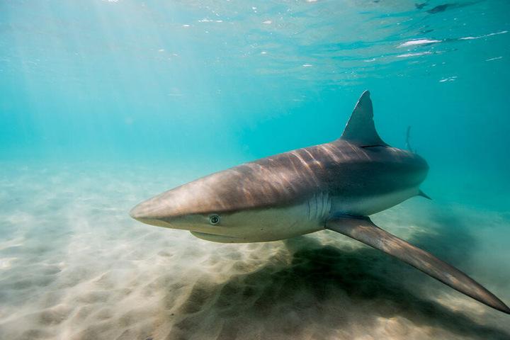Vor Israels Küste sind in den vergangenen Monaten ungewöhnlich viele Haie gesichtet worden. Sie sammeln sich im flachen Wasser vor dem Küstenort Chadera.