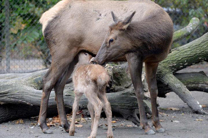 Wapiti-Hirsche gehören zu den Edelhirschen. (Symbolbild)