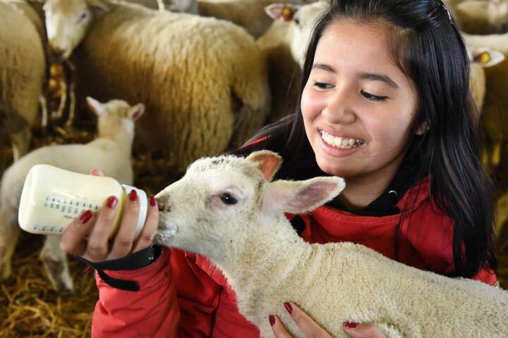 Auch in Oschatz gibt's schon Osterlämmer: Michelle (15) füttert ein Lamm mit  der Flasche.