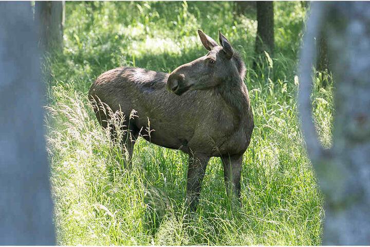 Die Elchkuh war erst im Juli mit ihrem Nachwuchs aus dem Wildgehege ausgebrochen.