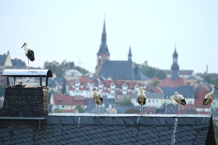 Meister Adebar verbringt die Nächte auf den Dächern. Nur so sind die Störche sicher vor Angreifern.