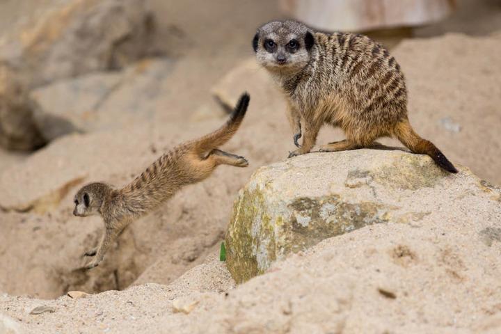 """Der Krefelder Zoo vermisst """"Toni Erdmann"""" - den Chef seiner Erdmännchengruppe."""
