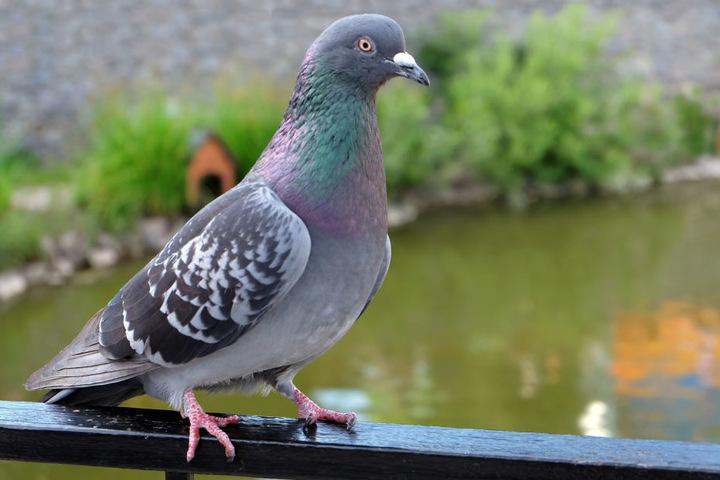 Eine verirrte Taube soll für einen Kurzschluss gesorgt haben, der dann die Oberleitung beschädigte (Symbolbild).