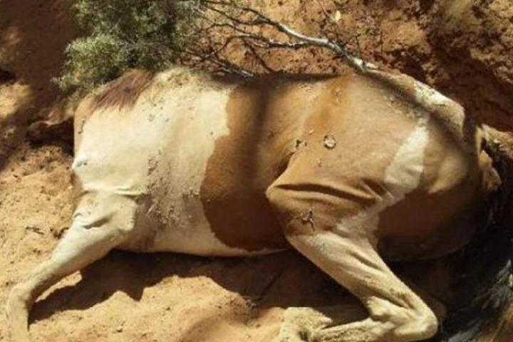 Pferden aus Australien Bibliothek-Mann aus einer Frau