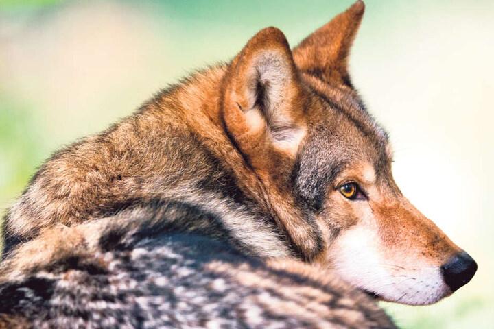 Sachsen ist das Wolfsland Nummer eins.