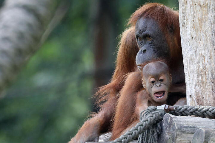 """Der zweite Spross der Orang-Utan-Familie heißt Martok, zu deutsch """"Krieger""""."""