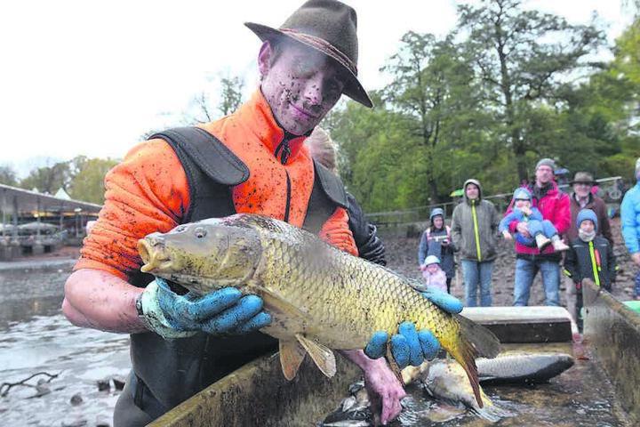 Abfischen ist harte körperliche Arbeit. Helfer Tim Siermann (26) hält einen  der größeren Karpfen in den Händen.