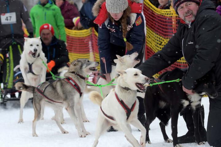 Kurz vor dem Start waren diese Hunde kaum mehr im Zaum zu halten.