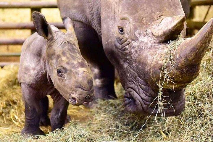 Das Nashorn-Baby soll sehr neugierig sein.