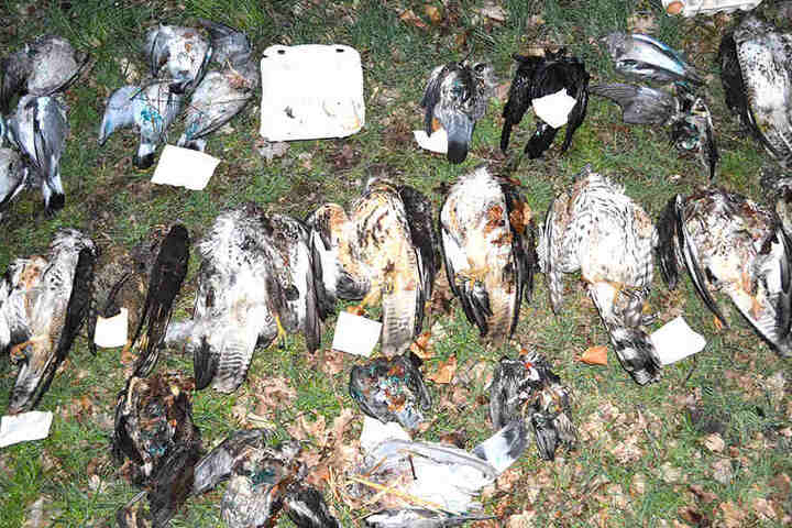 Mehrere Greifvögel kamen durch Gift ums Leben.