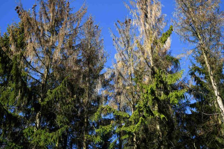 Drei größtenteils vom Borkenkäfer geschädigte Fichten stehen im Habichtswald bei Kassel.