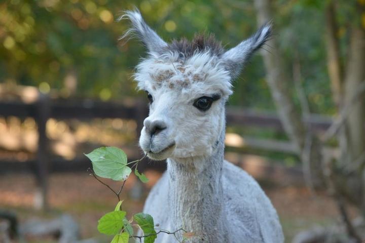 Wer will für mich sorgen? Alpaka-Mann Bruno sucht nach einem Paten.