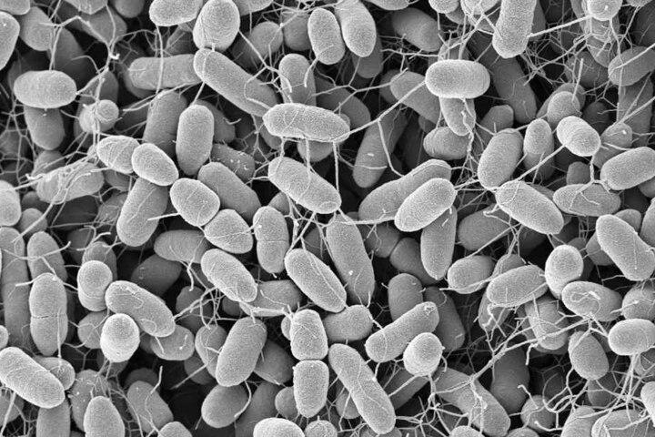 Bakterien Enterobacter cloacae, aufgenommen am Robert Koch-Institut Berlin. Die Keime gehören zu den Darmbakterien.