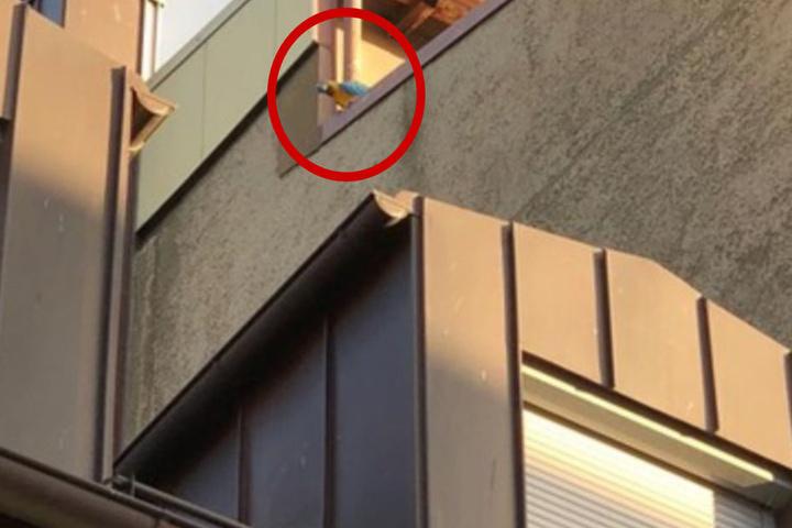 Der blaue-gelbe Ara hatte es sich auf dem Dach des Hauses bequem gemacht und blieb dort sitzen.