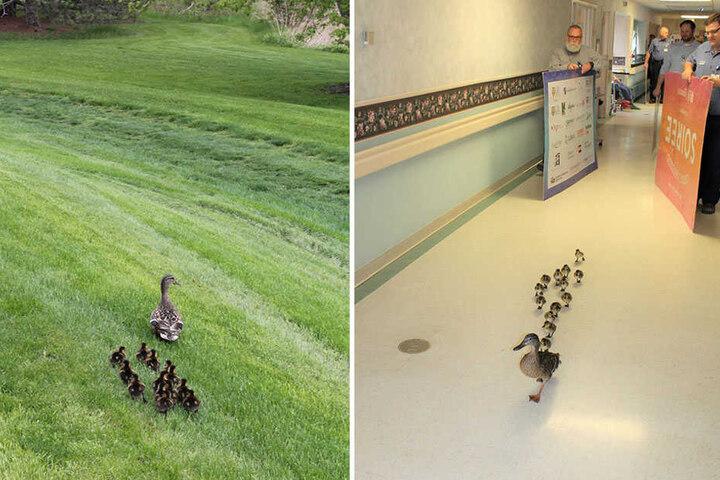Erst läuft die Entenparade durch die Klinik, um dann in die Freiheit zu watscheln.