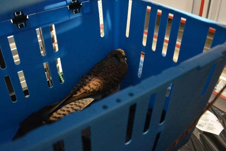 Am Ende kam der Vogel in einer Transportbox in die Vogelaufzuchtstation.