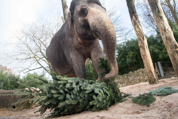 Nicht nur Elefanten, auch andere Tiere haben dieser Tage Tannen in ihren Gehegen und Volieren - allerdings nicht zum Fressen.