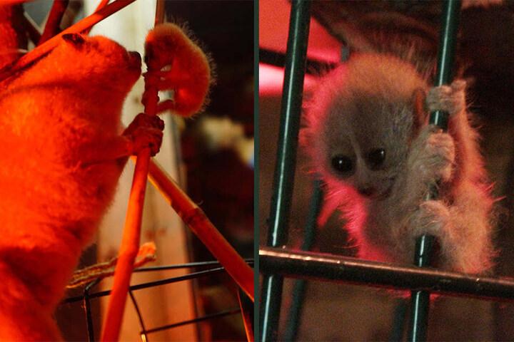 Wie süß: Orang-Utan-Baby und Zwergpumbori im Leipziger Zoo geboren!