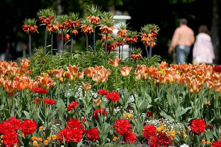 Das prächtige Blumenmeer in der Flora in Köln gab es auch wegen der kräftigen Sonne.