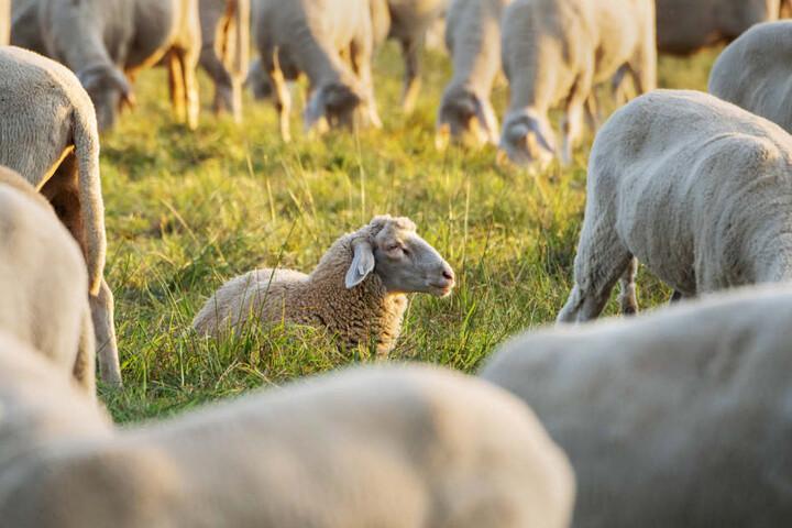 Der Halter der Schafherde musste den Verlust eines Tieres beklagen (Symbolbild).