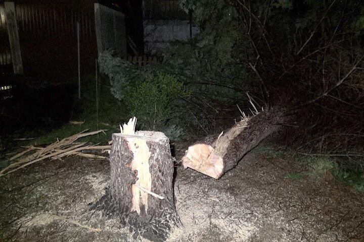 Dieser Baum wurde von einem Blitz getroffen und drohte, auf ein Haus zu fallen. Die Feuerwehr machte kurzen Prozess und fällte den Riesen.