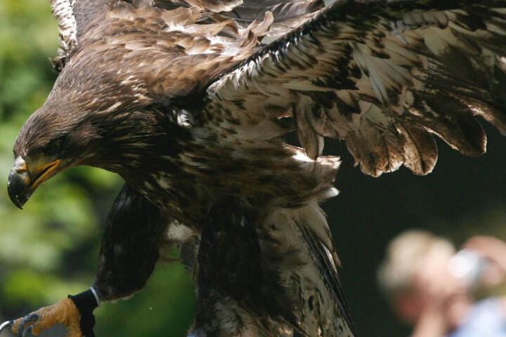 Abgerichtete Adler sollen Sprengsätze an Drohnen ergreifen. In Frankreich und den Niederlanden wird das bereits getestet. (Symbolbild)