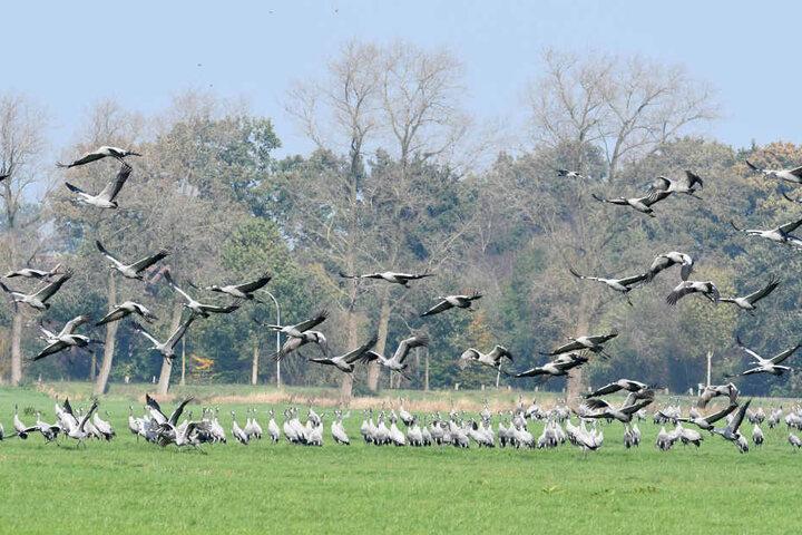 Sie sind erstaunliche Vögel und bekommen in Kelbra eine extra Wanderung gewidmet: die Kraniche.