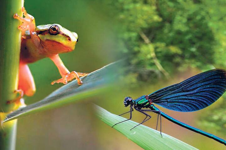 Guck-guck! Dieser Laubfrosch schaut nach dem Rechten. Herrlich zu sehen in dieser Pose: die Haftscheiben an seinen Fingern. Die sind einzigartig unter den Amphibien. Re.: Gefährdete Schönheit: Prächtig schimmert diese männliche Blauflügel-Prachtlibelle.