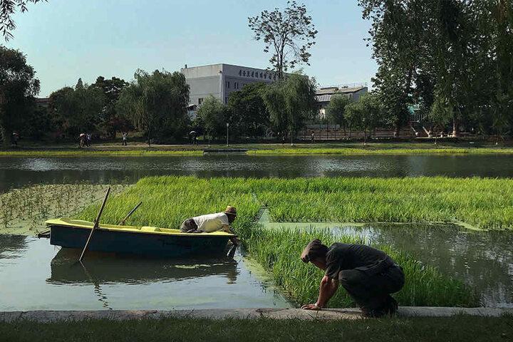 Männer bepflanzen im Juni 2017 am Fluss Pothong in Pjöngjang ein Reisfeld.